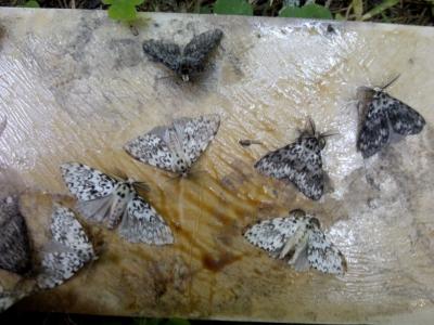 В лесах Смоленской области обнаружили вредителя, не встречавшегося несколько десятилетий