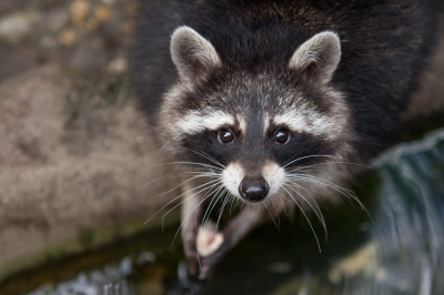 Raccoon eyes