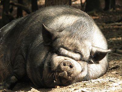 Смолянам рекомендуют отказаться от свиноводства